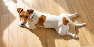 Cute purebred Jack Russel terrier puppy with folded ears at home, lying on floor alone having rest and looking at camera. Small adorable doggy with funny fur stains. Close up, copy space, background.