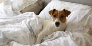 Cute Jack Russel terrier puppy with big ears sleeping on an unmade bed w/ blanket and pillows. Small adorable doggy with funny fur stains alone in bed. Close up, copy space, background.