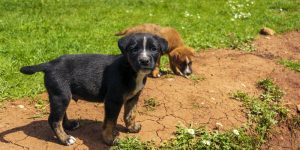 Portrait of funny young puppy resting on green lawn with a brown young puppy behind it. Small black dog with white stains outdoors.