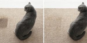 Cat sitting near wet spot. Carpet before and after cleaning